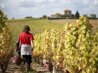 ボルドーワインのブドウ